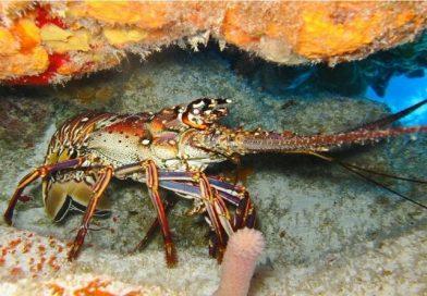 Suíça proíbe o uso de lagostas vivas em água quente