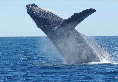Caça comercial de baleias continua banida