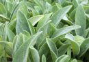 Plantas alimentícias não convencionais, as conhecidas PANCS
